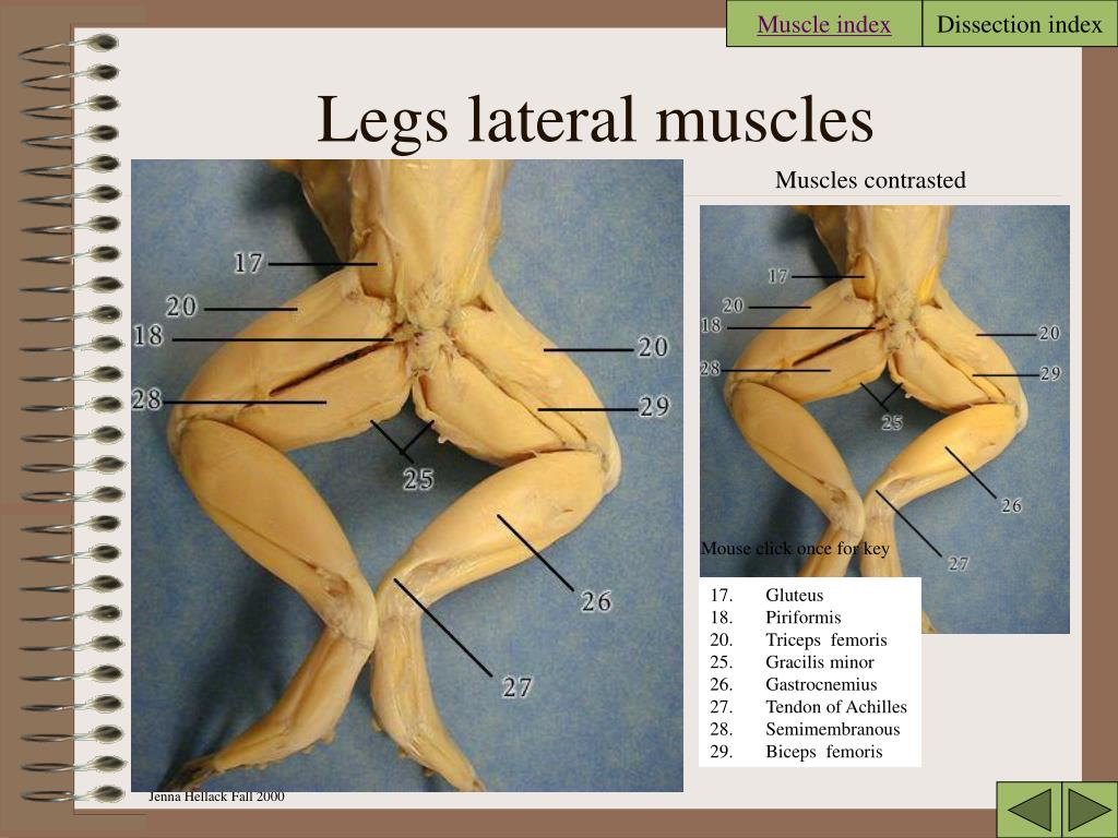 Muscle index