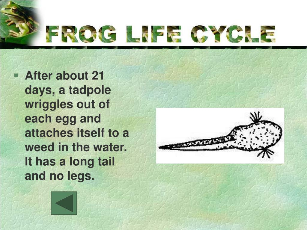 After about 21 days, a tadpole wriggles out of each egg and attaches itself to a weed in the water.  It has a long tail and no legs.