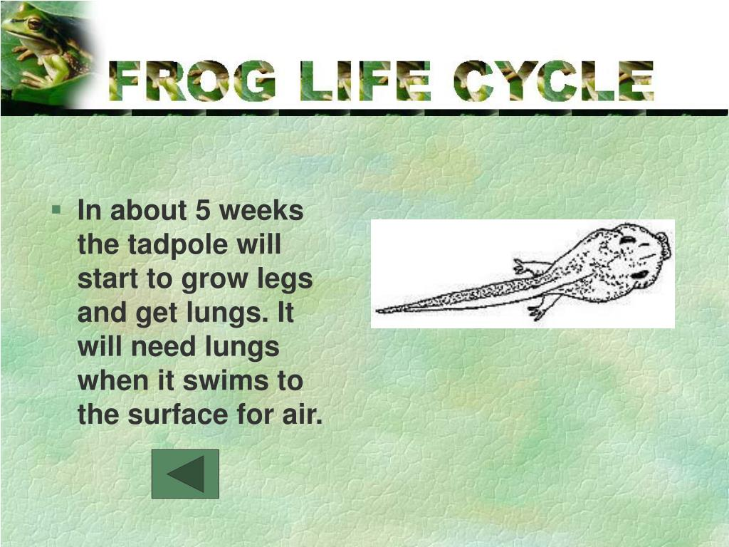 In about 5 weeks the tadpole will start to grow legs and get lungs. It will need lungs when it swims to the surface for air.