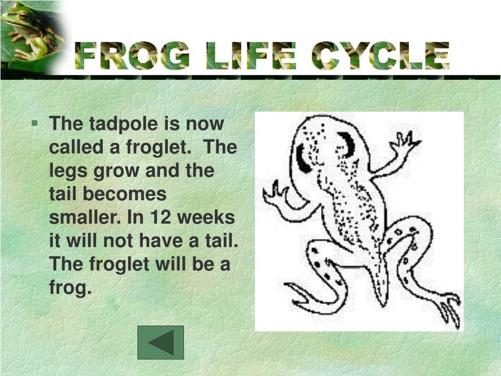 The tadpole is now called a froglet.  The legs grow and the tail becomes smaller. In 12 weeks it will not have a tail. The froglet will be a frog.