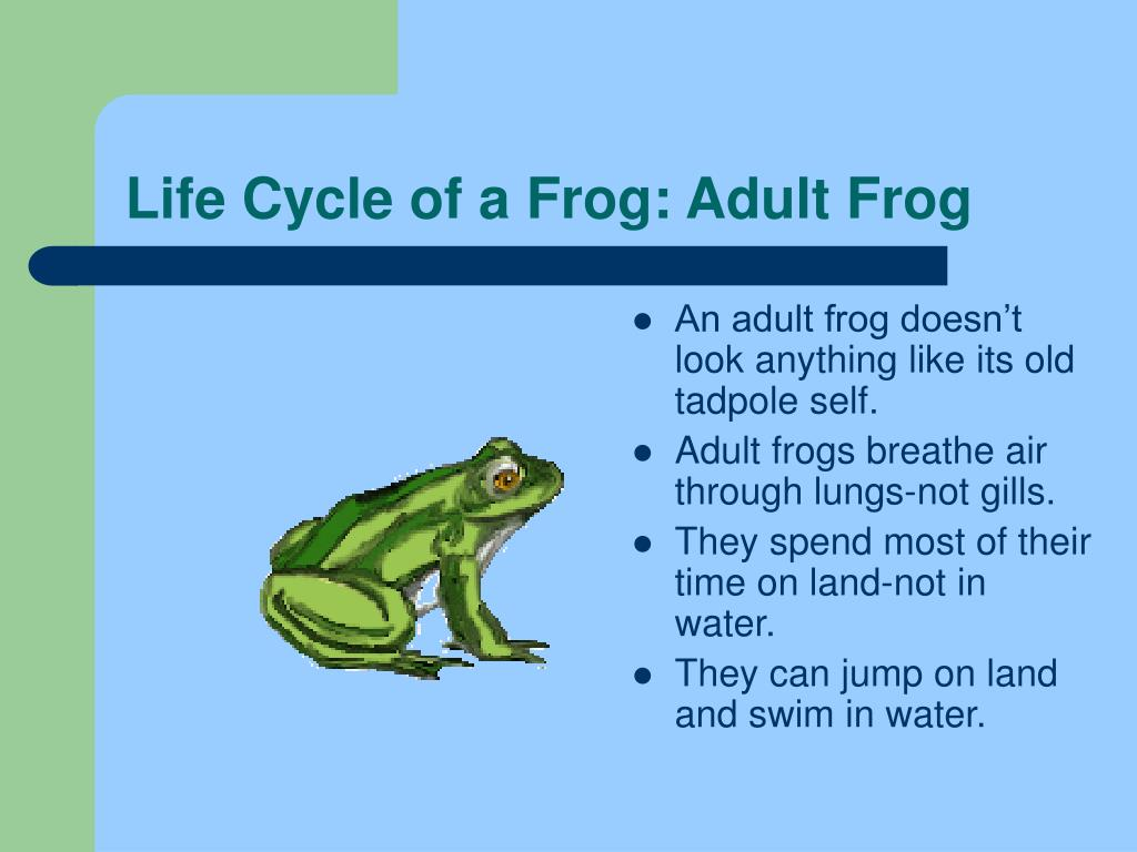 Life Cycle of a Frog: Adult Frog
