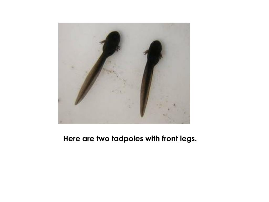 Here are two tadpoles with front legs.