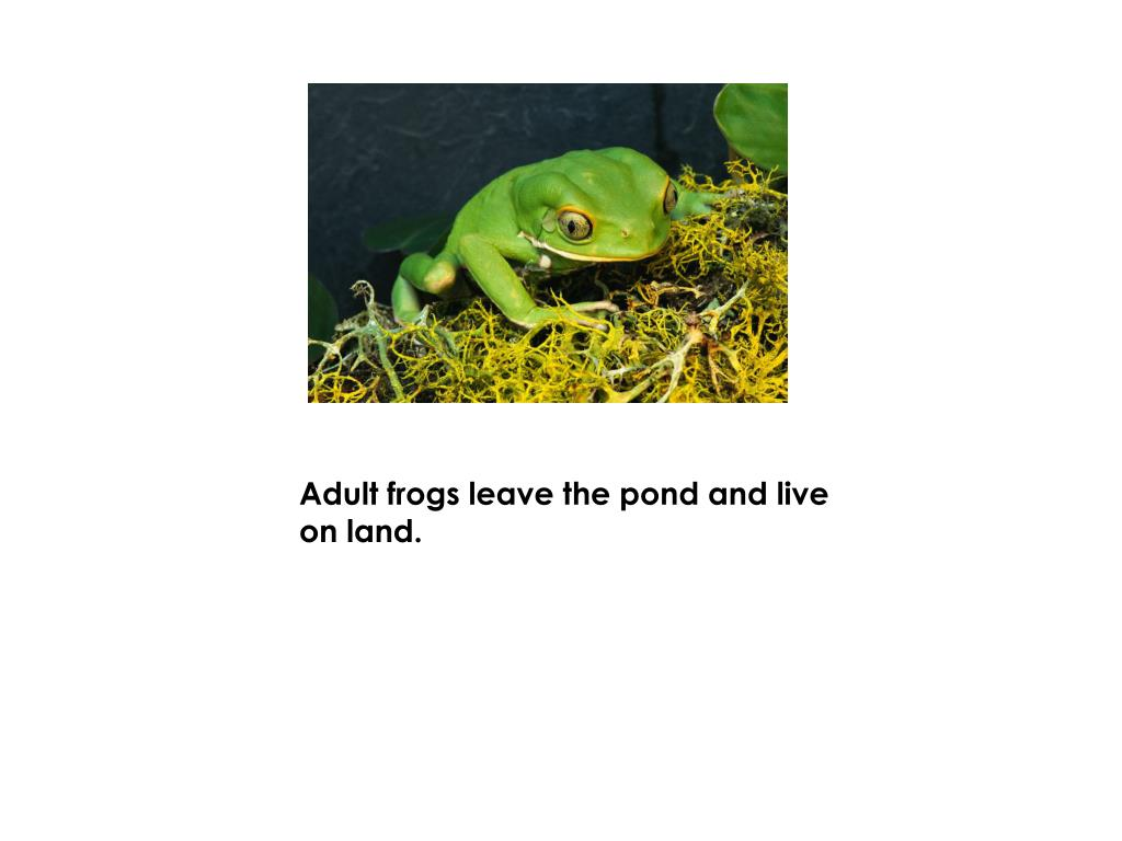 Adult frogs leave the pond and live