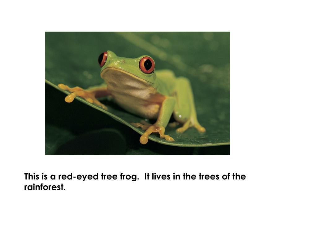This is a red-eyed tree frog.  It lives in the trees of the