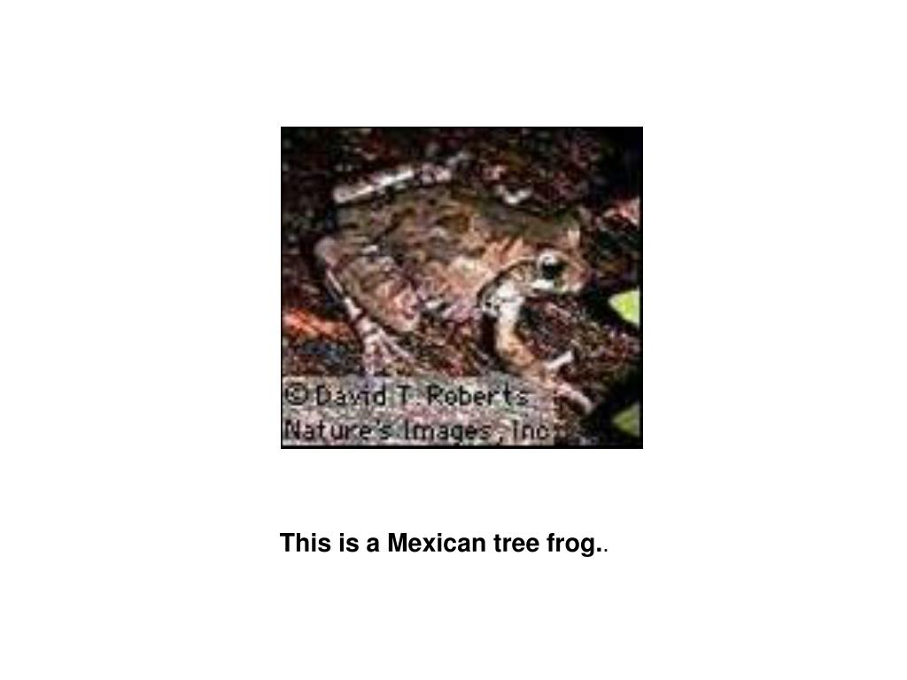 This is a Mexican tree frog.