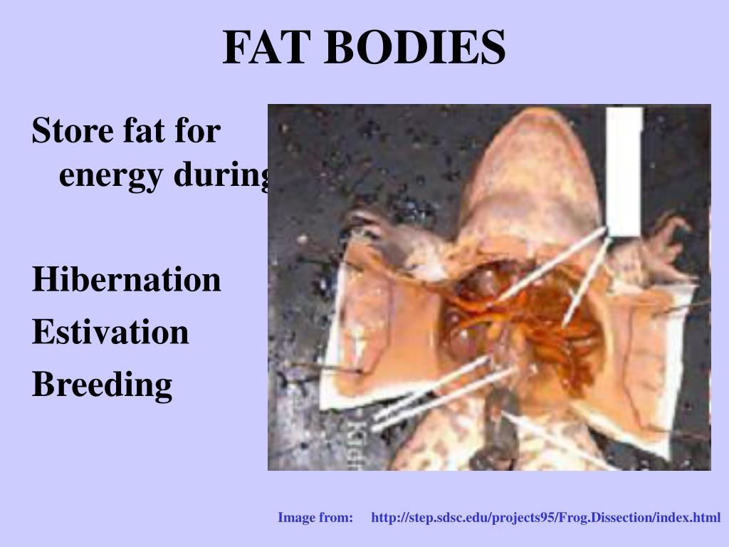 FAT BODIES