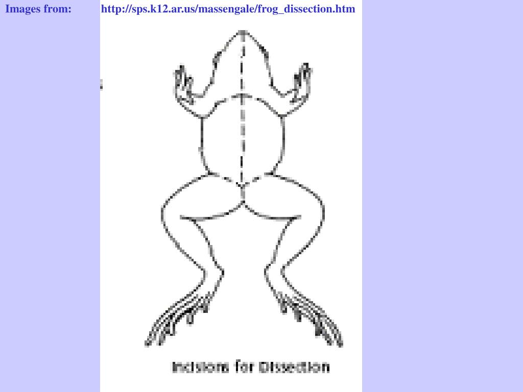 Images from:          http://sps.k12.ar.us/massengale/frog_dissection.htm