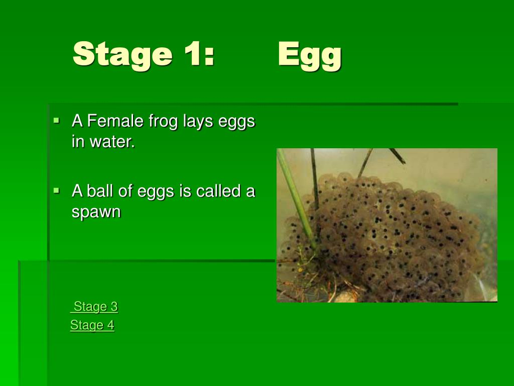 Stage 1:      Egg