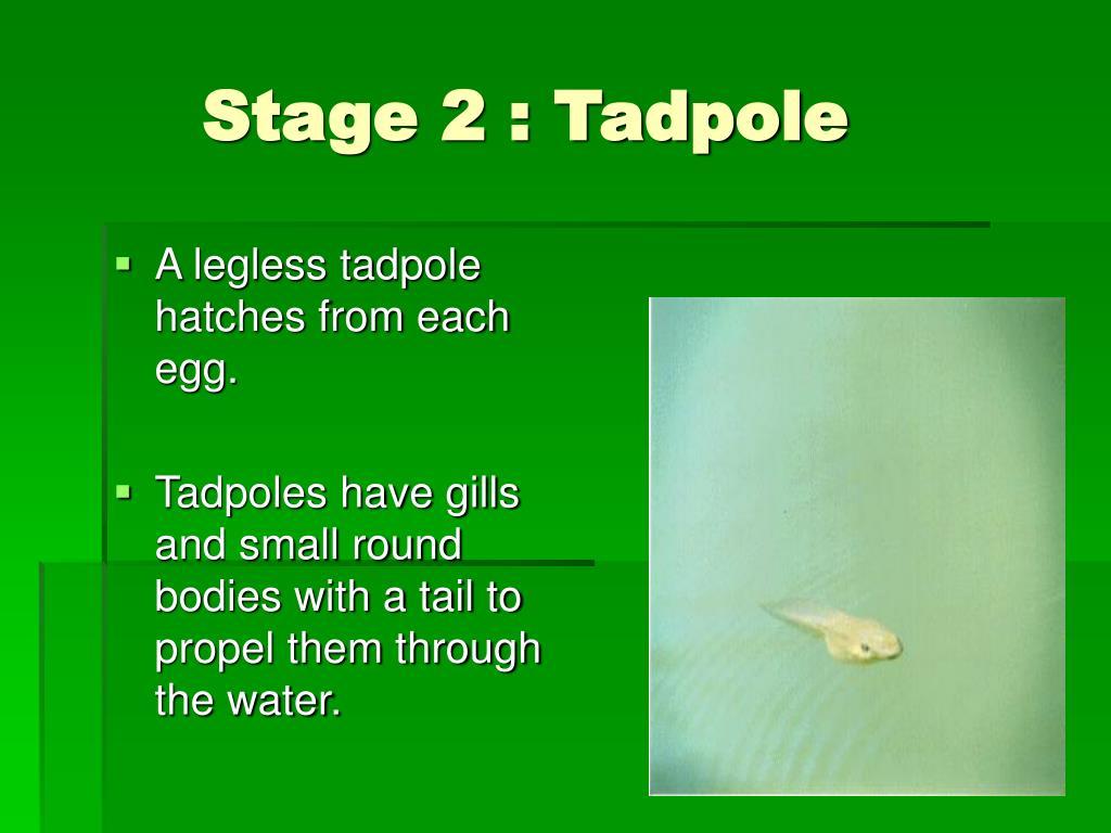 Stage 2 : Tadpole