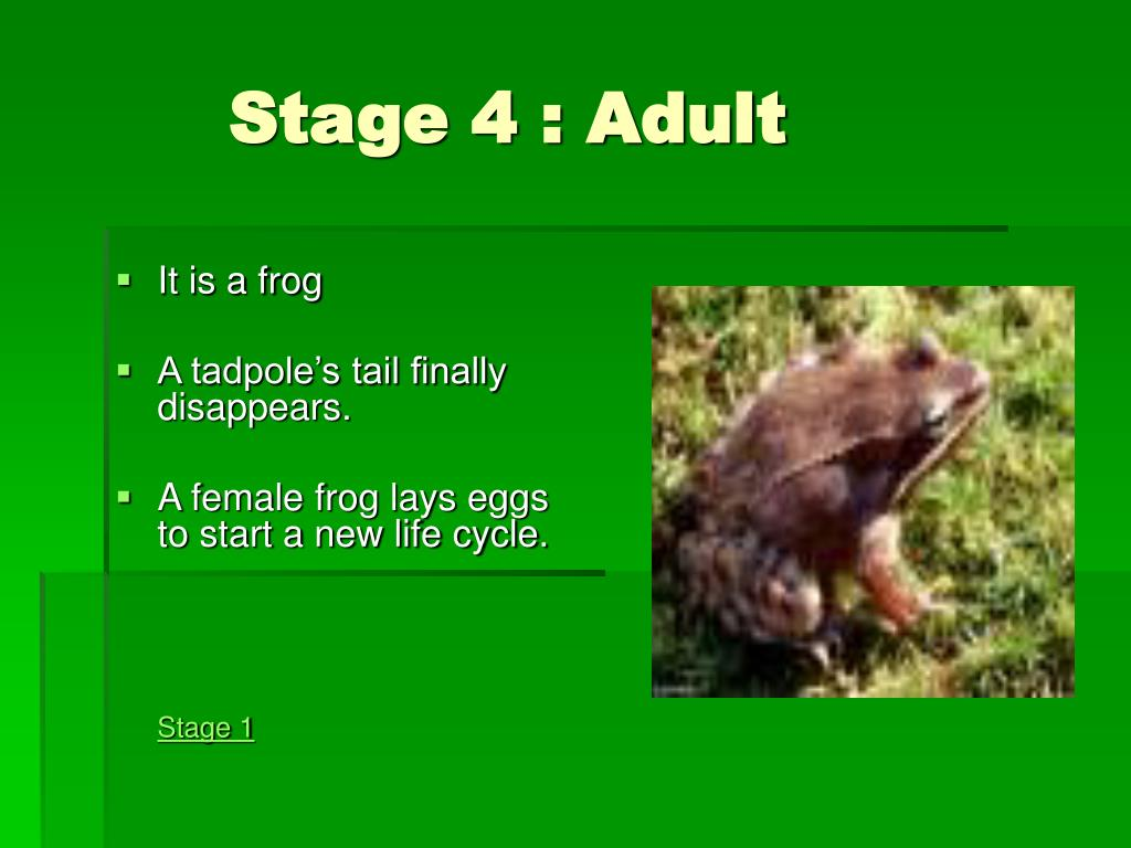 Stage 4 : Adult