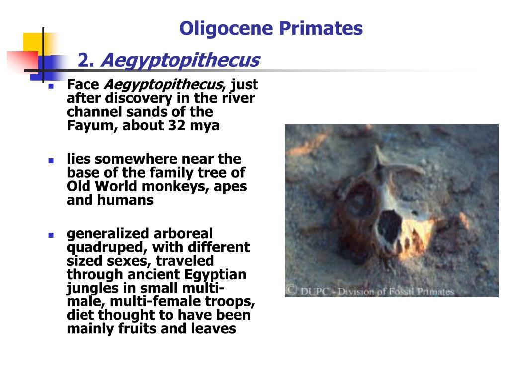 Oligocene Primates