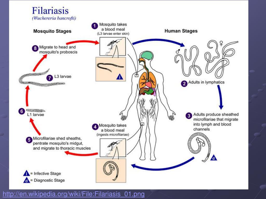 http://en.wikipedia.org/wiki/File:Filariasis_01.png