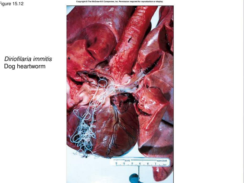 Diriofilaria immitis