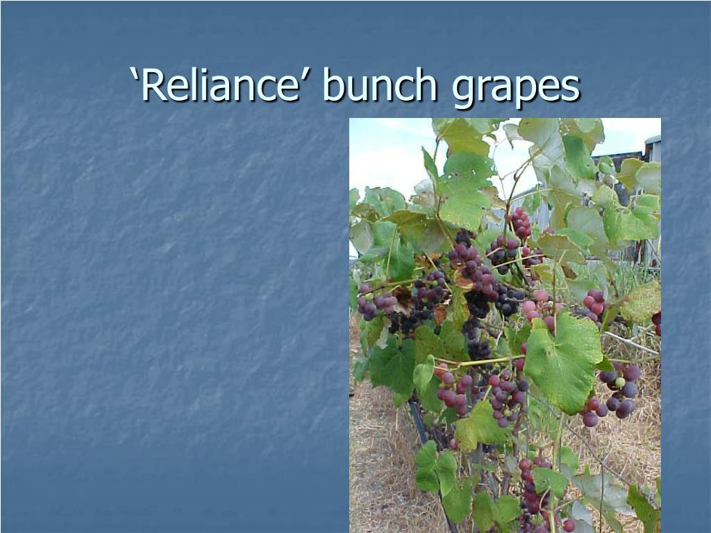 'Reliance' bunch grapes