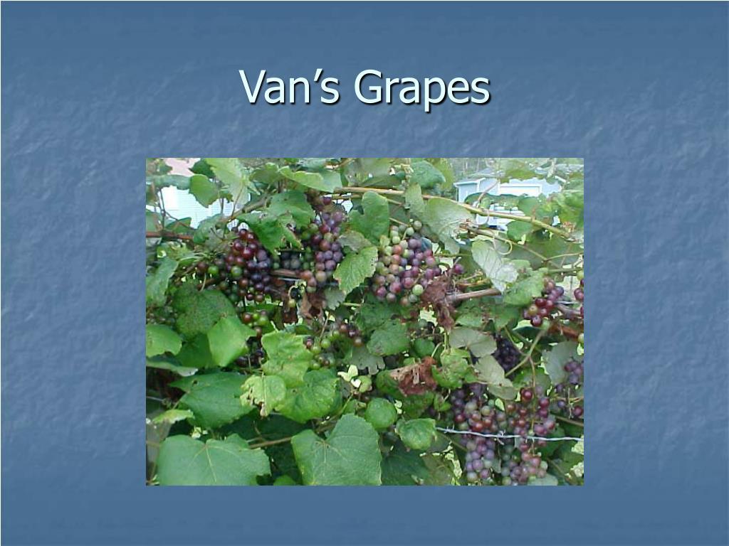 Van's Grapes