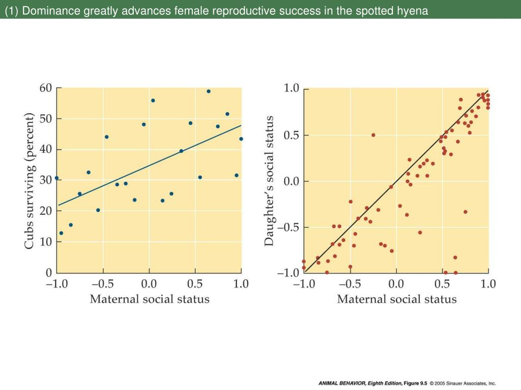 (1) Dominance greatly advances female reproductive success in the spotted hyena