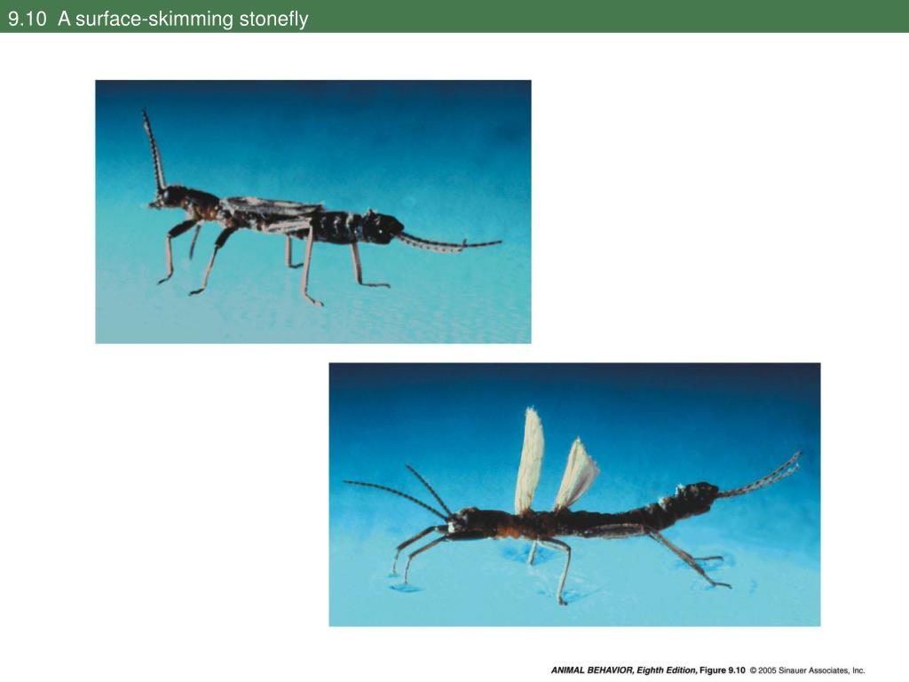 9.10  A surface-skimming stonefly