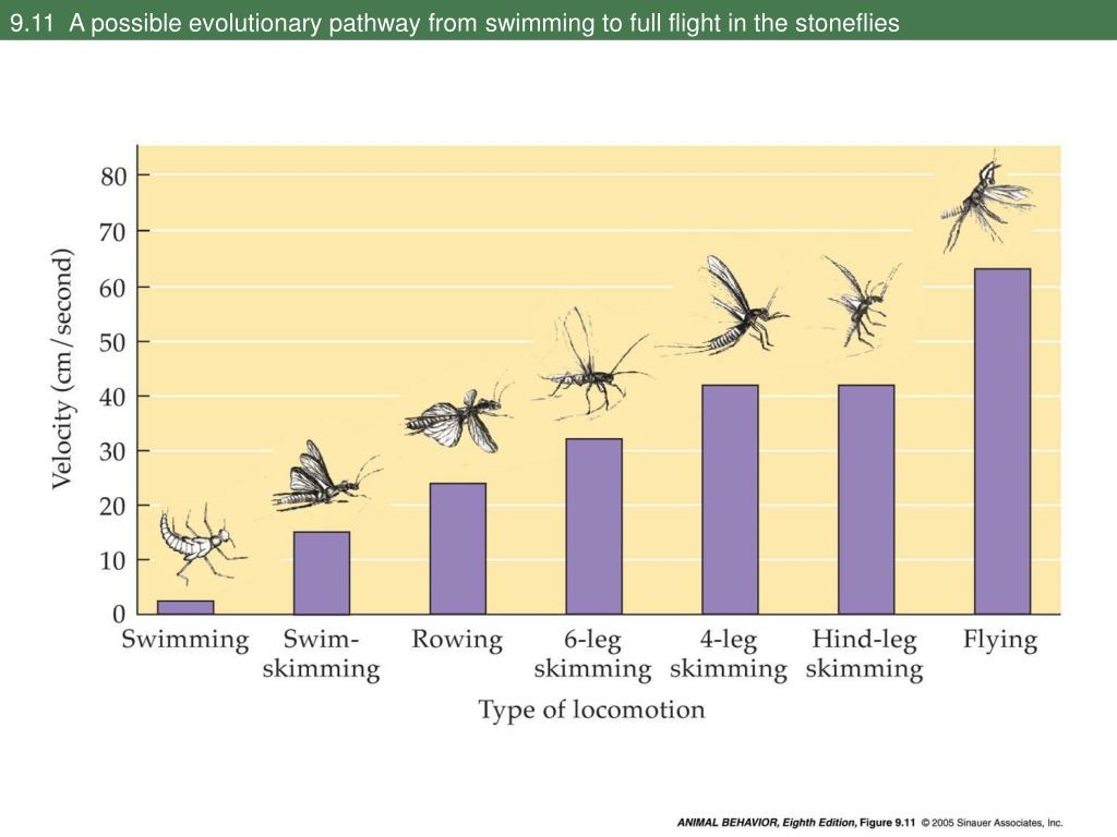 9.11  A possible evolutionary pathway from swimming to full flight in the stoneflies