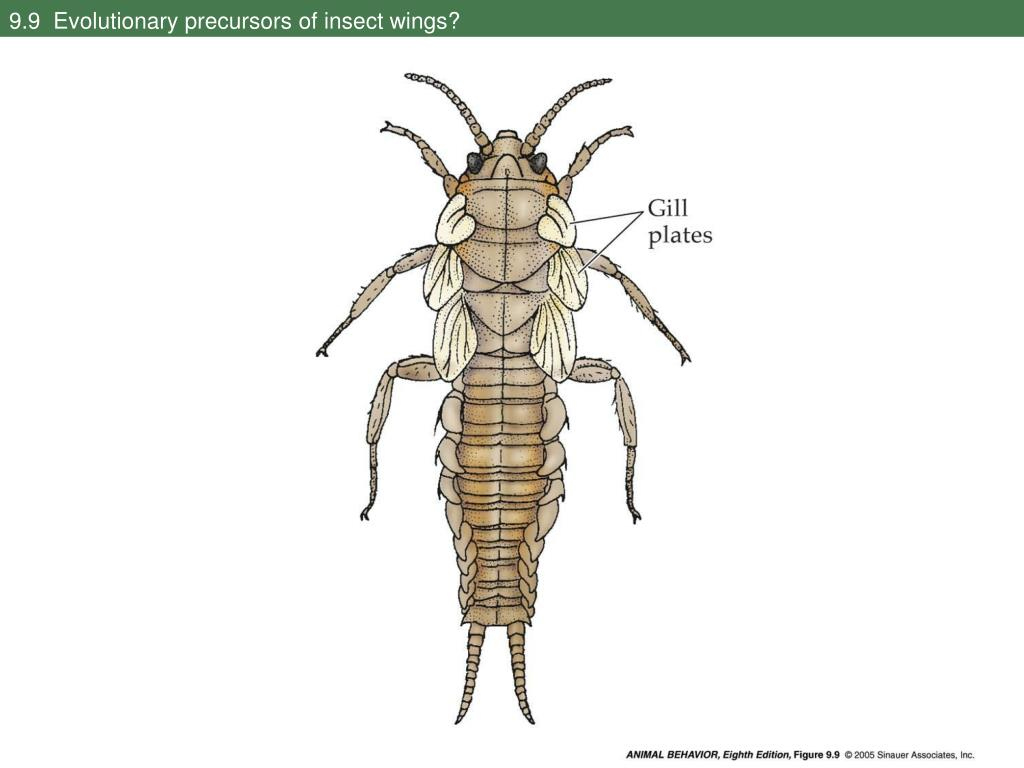 9.9  Evolutionary precursors of insect wings?