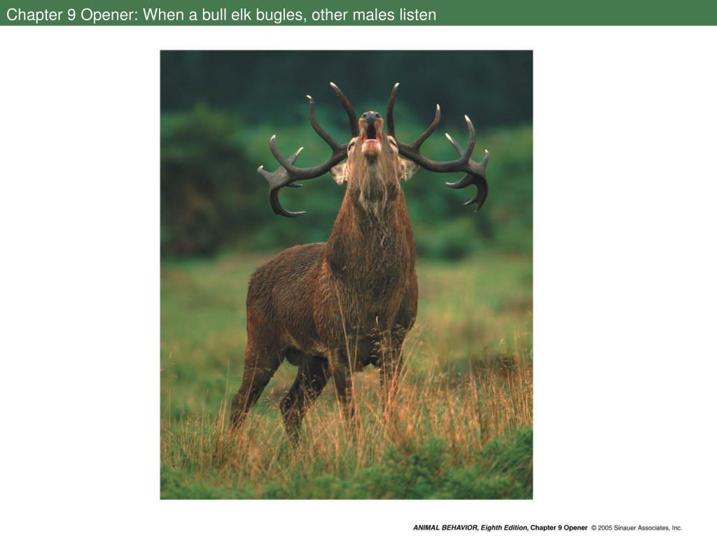 Chapter 9 Opener: When a bull elk bugles, other males listen