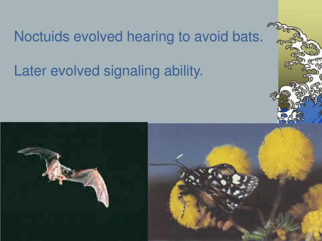 Noctuids evolved hearing to avoid bats.