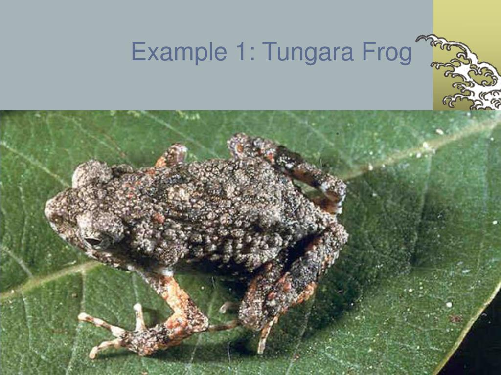 Example 1: Tungara Frog