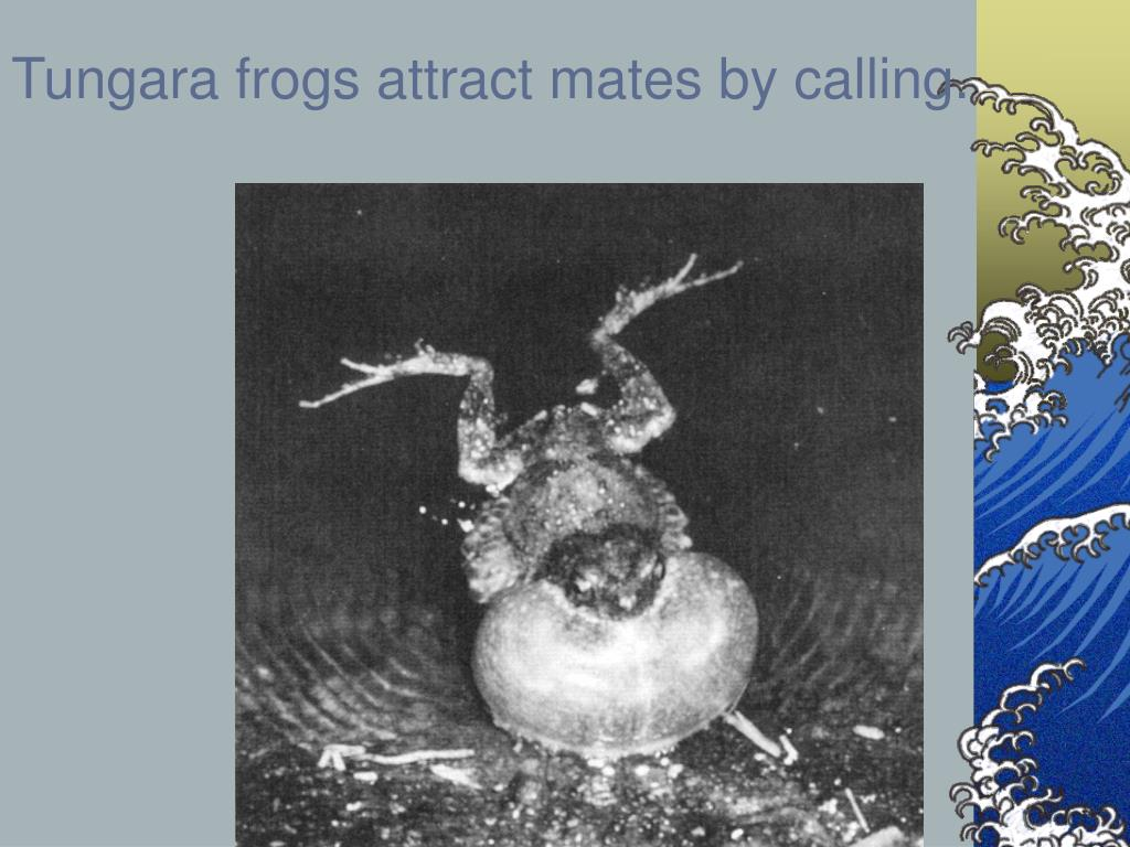 Tungara frogs attract mates by calling.
