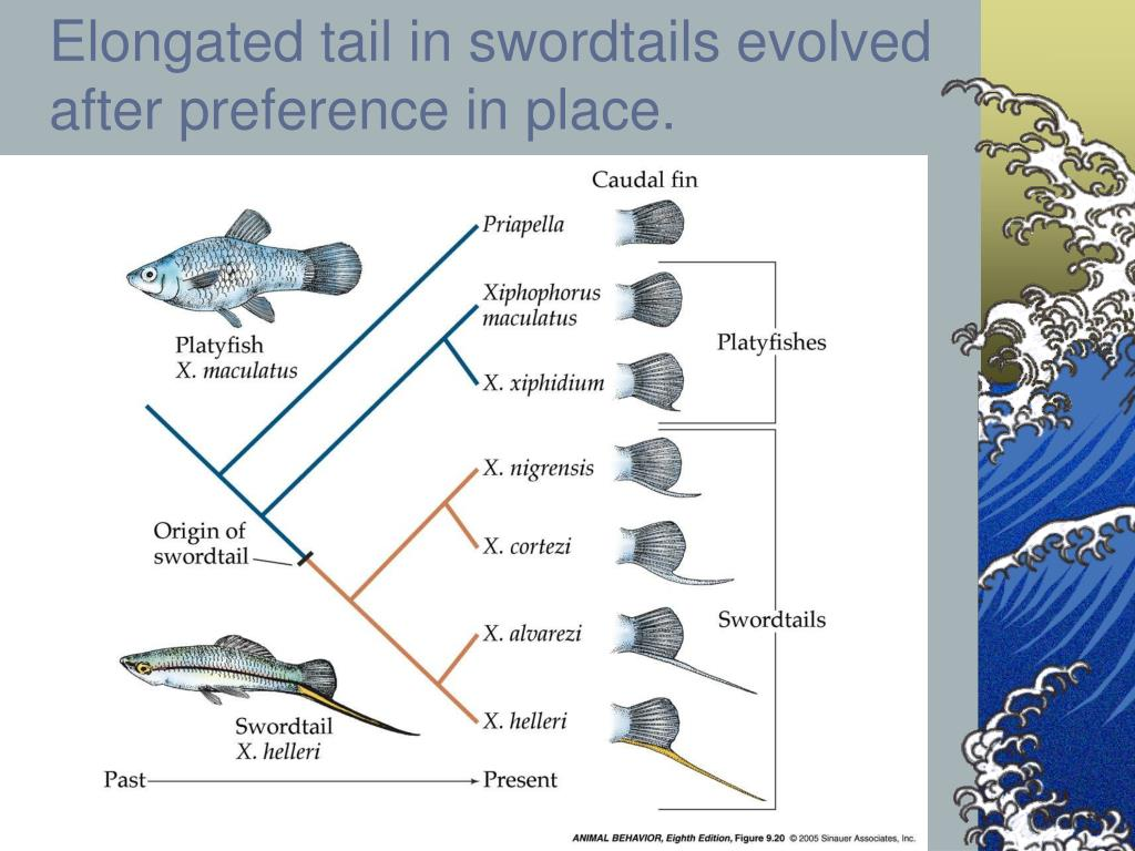 Elongated tail in swordtails evolved after preference in place.