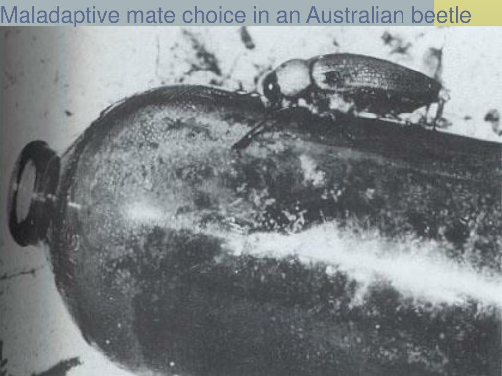 Maladaptive mate choice in an Australian beetle