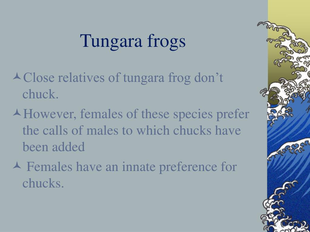 Tungara frogs