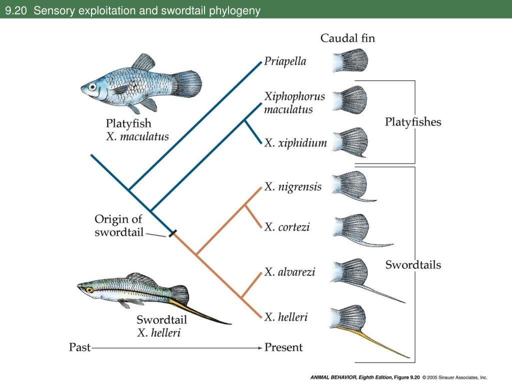 9.20  Sensory exploitation and swordtail phylogeny