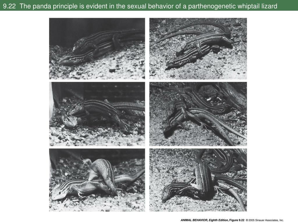 9.22  The panda principle is evident in the sexual behavior of a parthenogenetic whiptail lizard