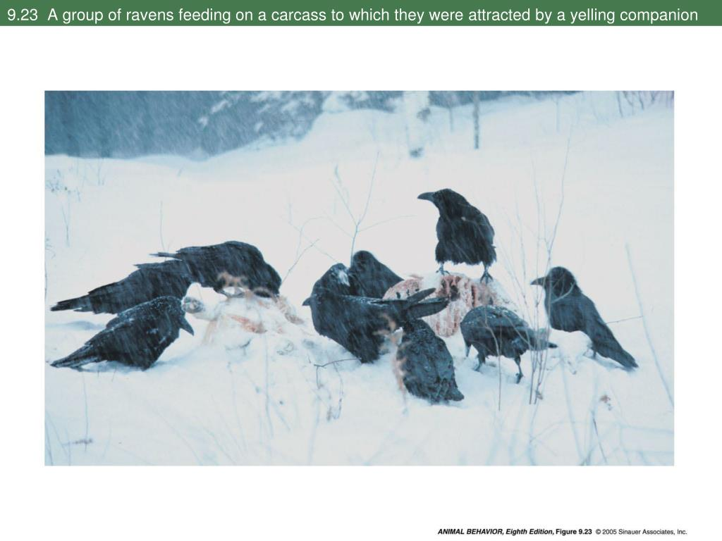 9.23  A group of ravens feeding on a carcass to which they were attracted by a yelling companion