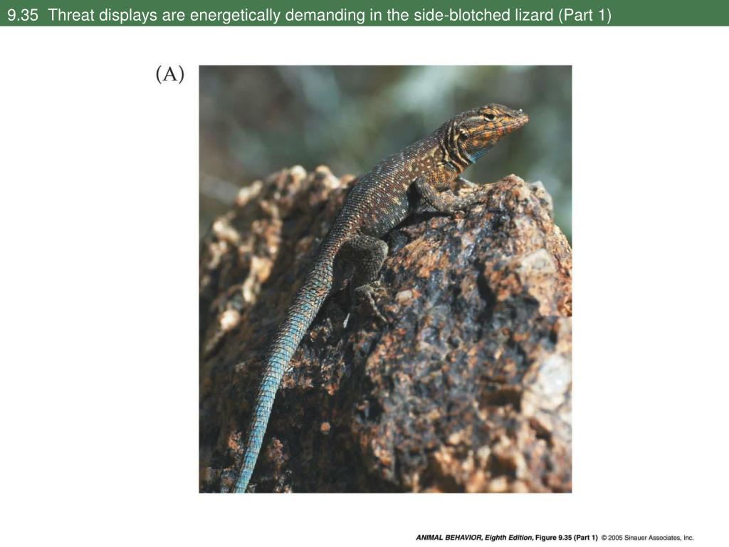 9.35  Threat displays are energetically demanding in the side-blotched lizard (Part 1)