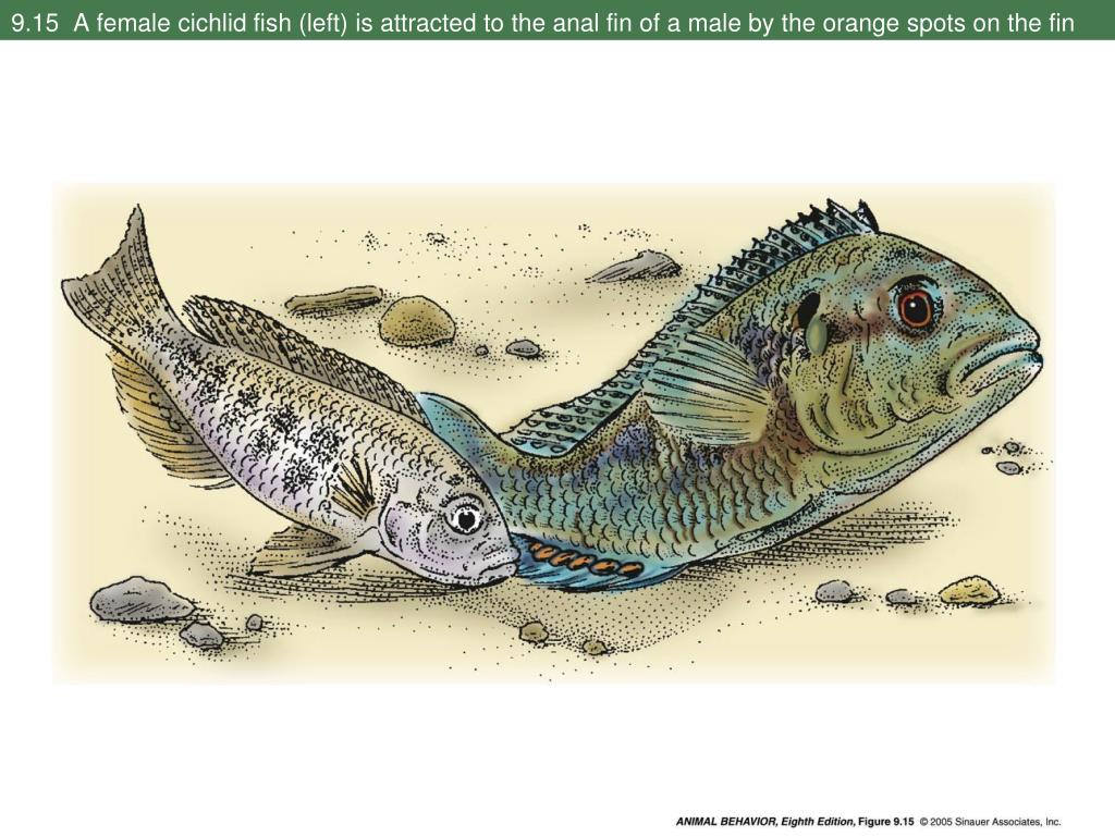 9.15  A female cichlid fish (left) is attracted to the anal fin of a male by the orange spots on the fin