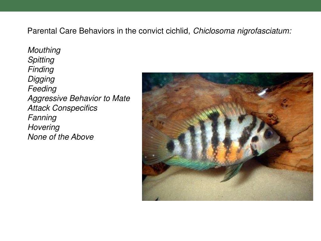 Parental Care Behaviors in the convict cichlid,