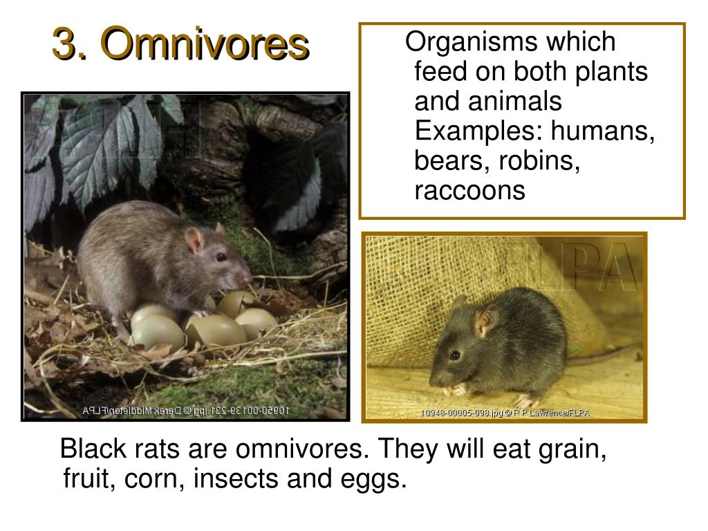 Organisms which feed on both plants and animals  Examples: humans, bears, robins, raccoons