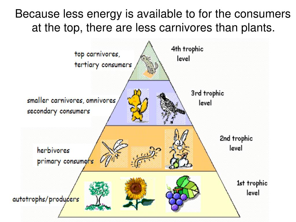 Because less energy is available to for the consumers at the top, there are less carnivores than plants.