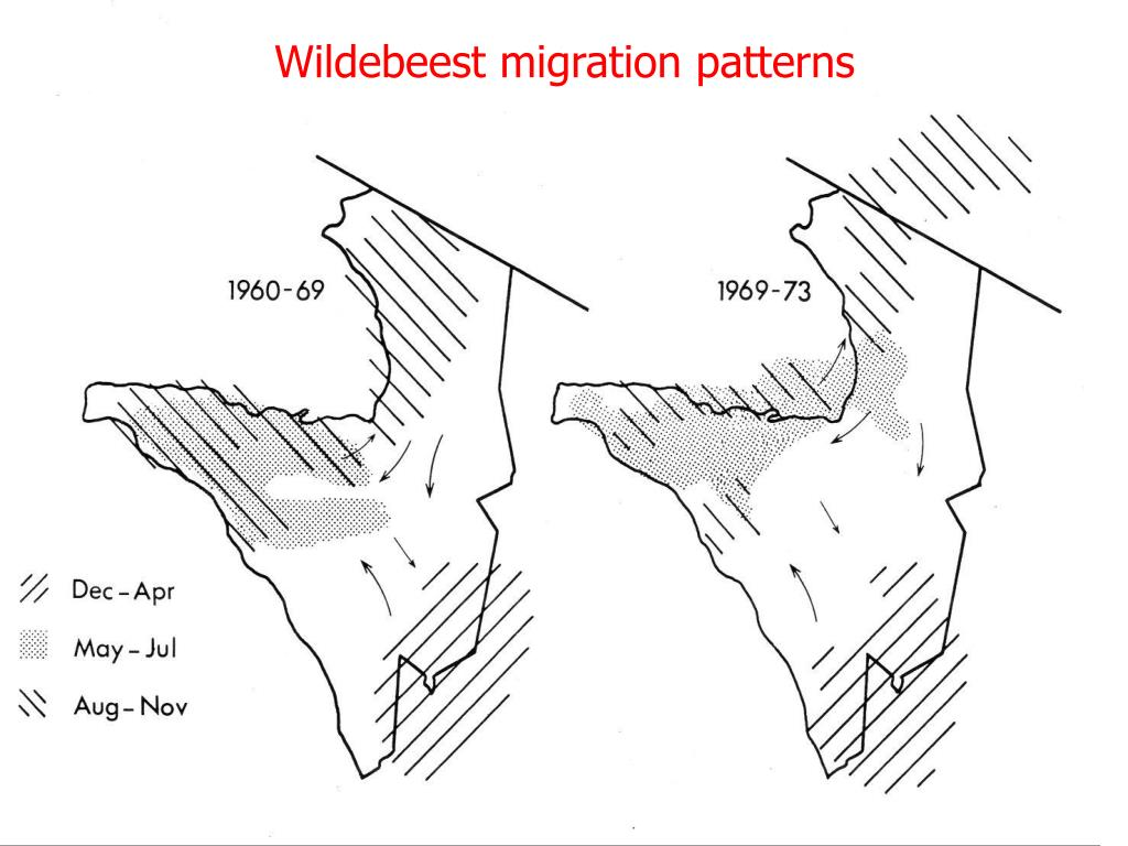 Wildebeest migration patterns