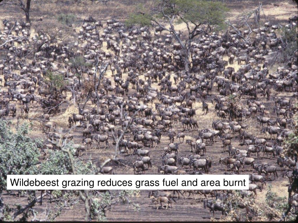 Wildebeest grazing reduces grass fuel and area burnt