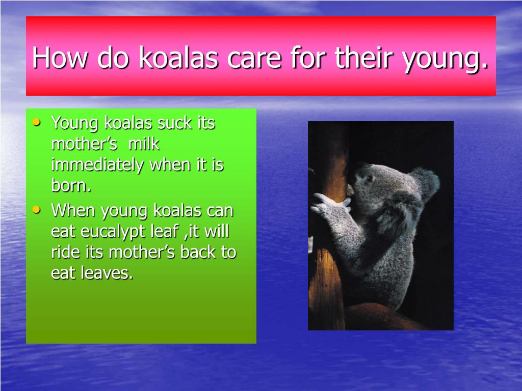 How do koalas care for their young.