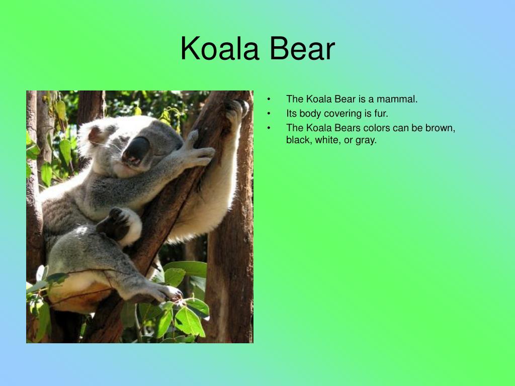 The Koala Bear is a mammal.