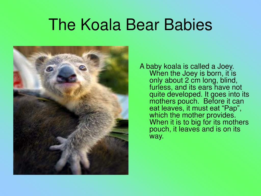 "A baby koala is called a Joey. When the Joey is born, it is only about 2 cm long, blind, furless, and its ears have not quite developed. It goes into its mothers pouch.  Before it can eat leaves, it must eat ""Pap"", which the mother provides. When it is to big for its mothers pouch, it leaves and is on its way."