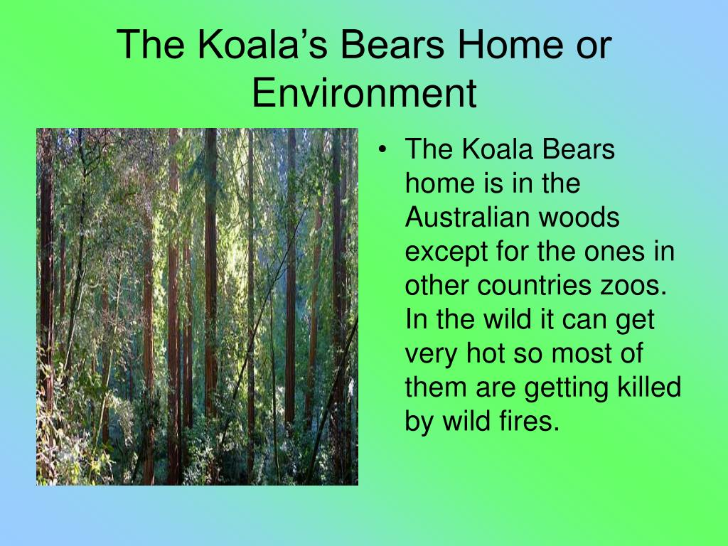 The Koala Bears home is in the Australian woods except for the ones in other countries zoos. In the wild it can get very hot so most of them are getting killed by wild fires.