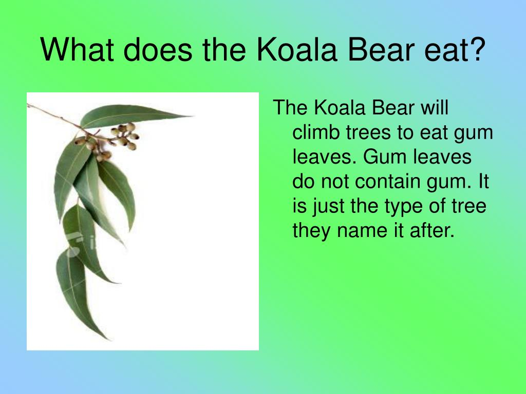The Koala Bear will climb trees to eat gum leaves. Gum leaves do not contain gum. It is just the type of tree they name it after.