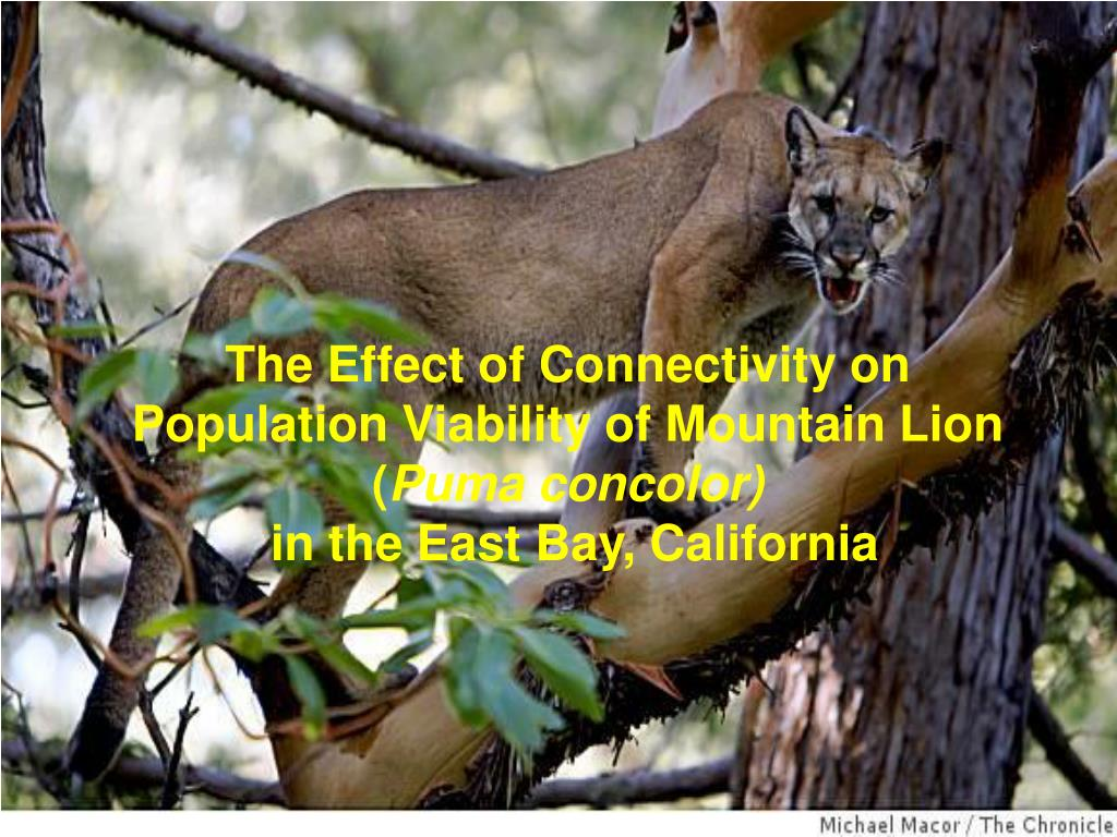 The Effect of Connectivity on Population Viability of Mountain Lion (