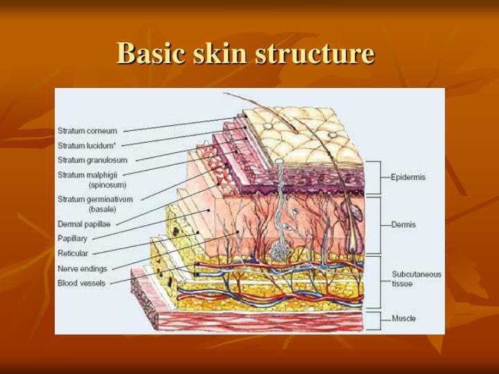 Basic skin structure