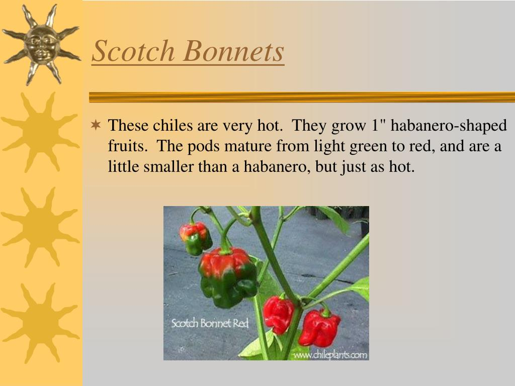 Scotch Bonnets