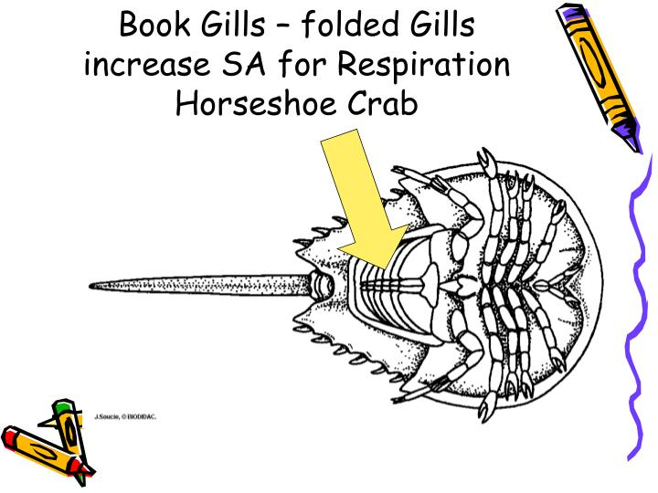 Book Gills – folded Gills increase SA for Respiration