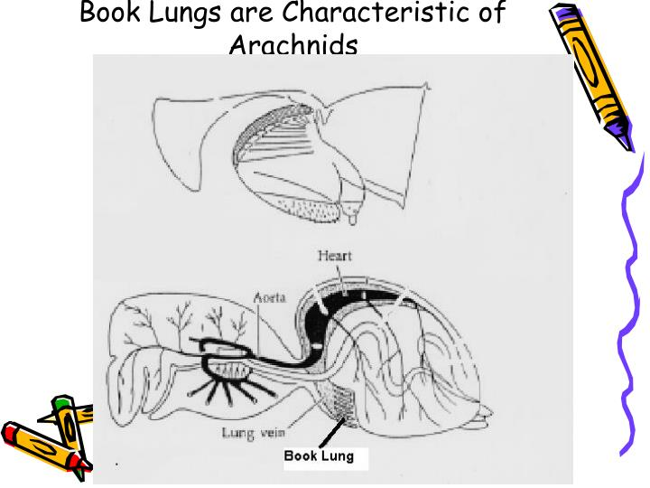 Book Lungs are Characteristic of Arachnids